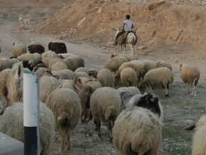 Pastier so stádom v Palestíne dnes