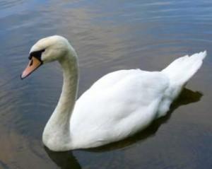 swan--animal--swan_19-116756